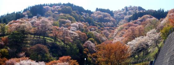 15 桜滝
