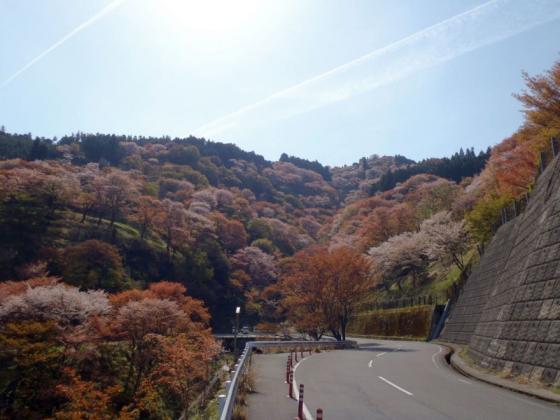 14 桜滝