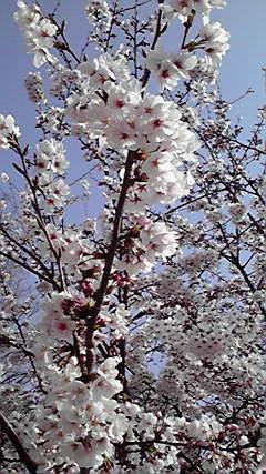 桜の花びらって、結構白いのね