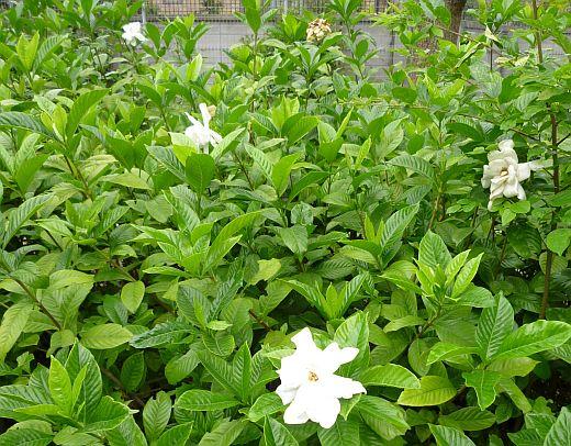 クチナシの花2010