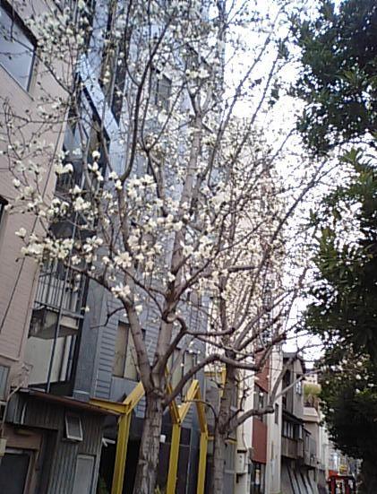 こぶしの花2011