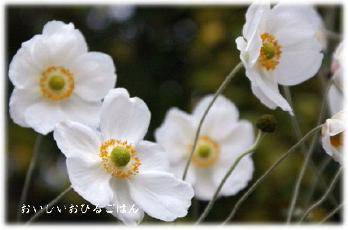 syumeigiku3_20101113182155.jpg