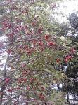 今年の吊り花マユミ