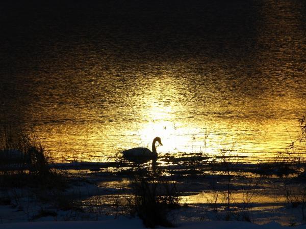 初日の出の光りが輝く川面&初白鳥~