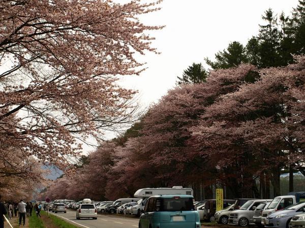 静内二十間道路桜並木~