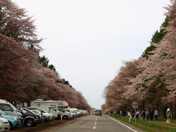 どこまでも桜です。。。