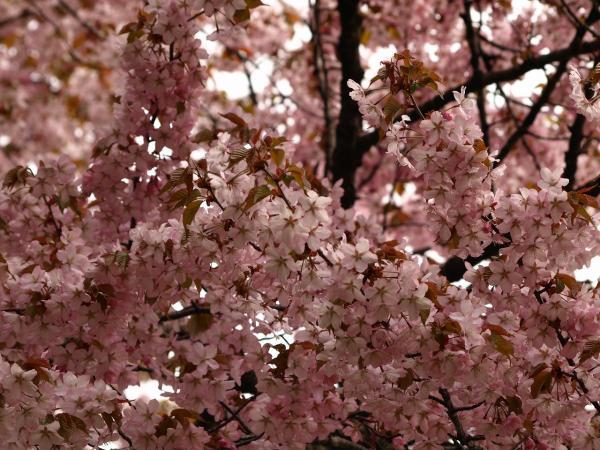 桜ですよ~