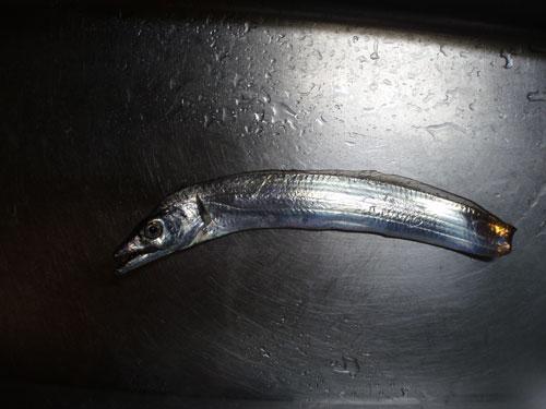 尻尾かじられた太刀魚
