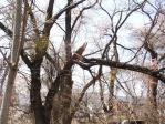 桜 雪の被害