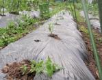 トマトの挿し木