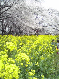 全生園の桜&菜の花