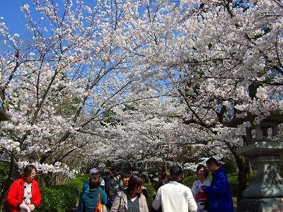 高台寺近くの桜