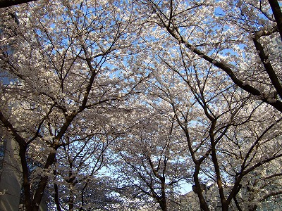 祇園 白川沿い