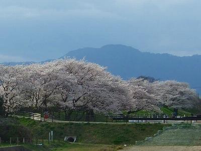 旧草津川の桜4