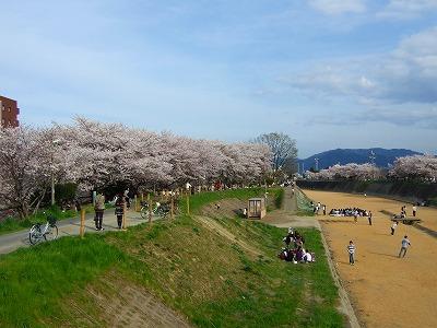 旧草津川の桜3