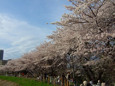 旧草津川の桜2