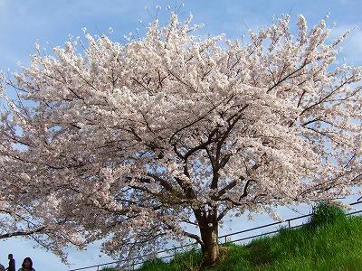 旧草津川の桜1