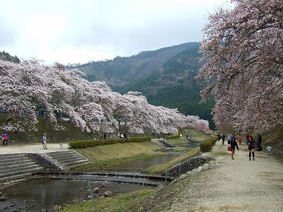 うぐい川の桜1