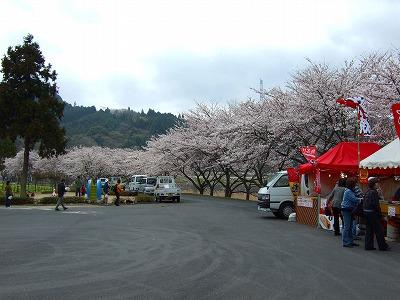 うぐい川の桜4