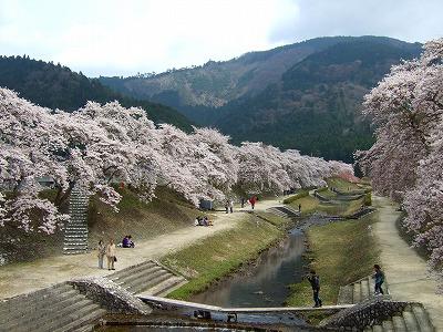 うぐい川の桜2