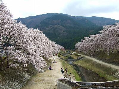 うぐい川の桜3