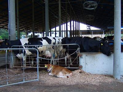 山田牧場の牛