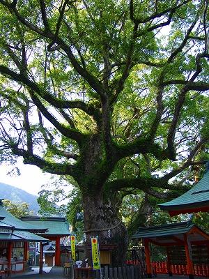 熊野那智大社の大木1