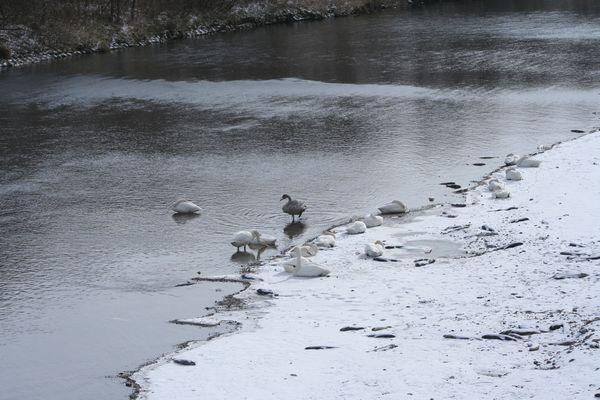 081120-swan1.jpg