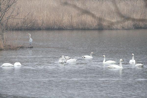 100410-swan1.jpg