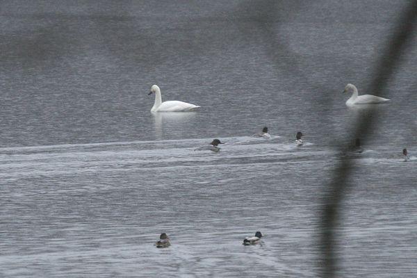 100410-swan2.jpg