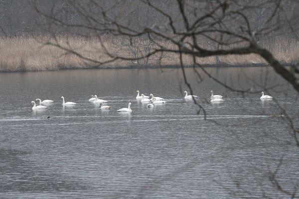 100410-swan3.jpg