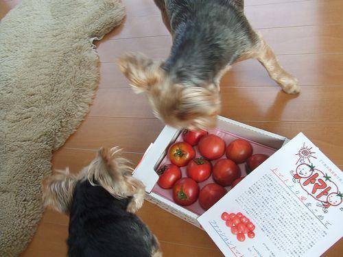 100517-tomato1.jpg
