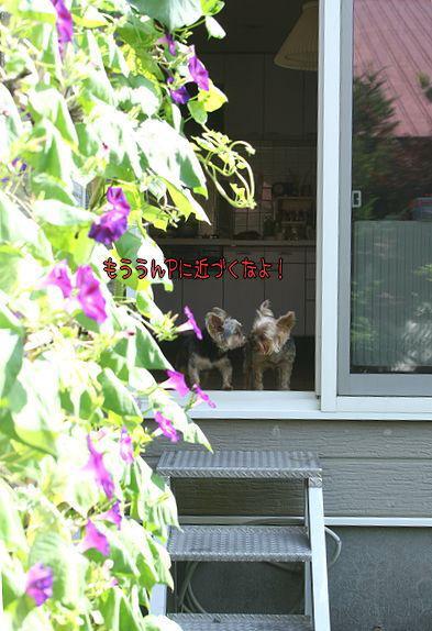 100814-asagao5.jpg