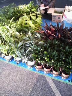 フリマ植物