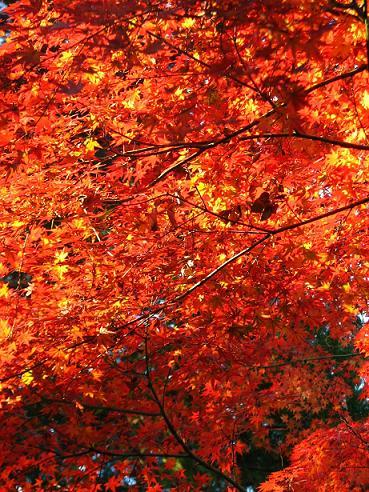 井の頭紅葉