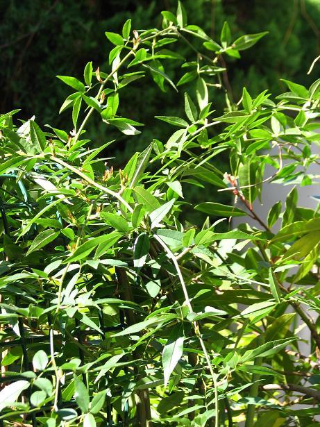 モッコウバラの芽