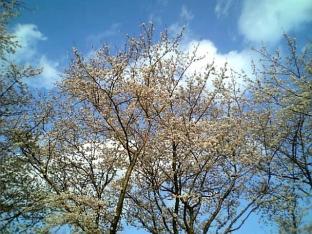 2010日米親善桜祭り上瀬谷通信基地BBQバーガー008