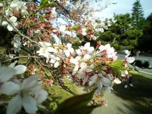 米海軍厚木航空施設)日米親善桜祭り4-4ナチョ004
