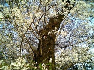 米海軍厚木航空施設)日米親善桜祭り4-4ナチョ019