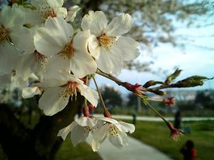 米海軍厚木航空施設)日米親善桜祭り4-4ナチョ020