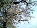 米海軍厚木航空施設)日米親善桜祭り4-4ナチョ022