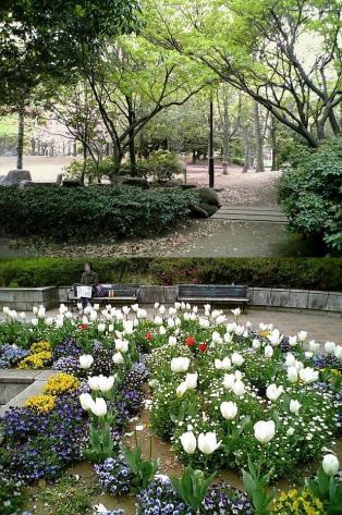 2011年、神奈川県大和市引地台公園の桜2