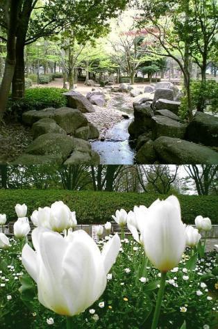 2011年、神奈川県大和市引地台公園の桜3
