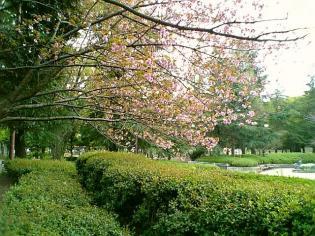 2011年、神奈川県大和市引地台公園の桜4