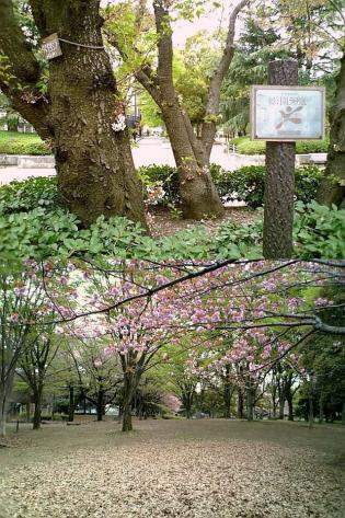 2011年、神奈川県大和市引地台公園の桜5