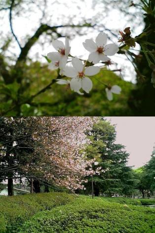 2011年、神奈川県大和市引地台公園の桜6