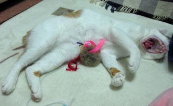 猫のあくび好き1031