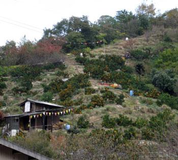 みかん畑は山の上1123