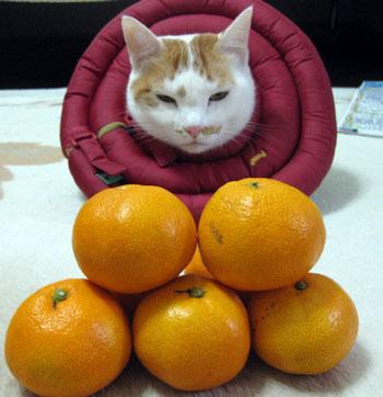 猫とミカン1124