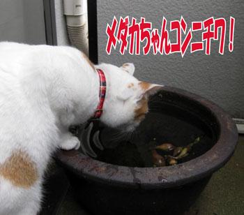 メダカちゃんコンニチワ1213